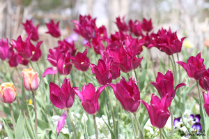 Thanksgiving Point Gardens – Tulip Festival – Utah | www.tasteandtellblog.com