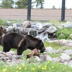 Grizzly and Wolf Discovery Center - West Yellowstone Montana