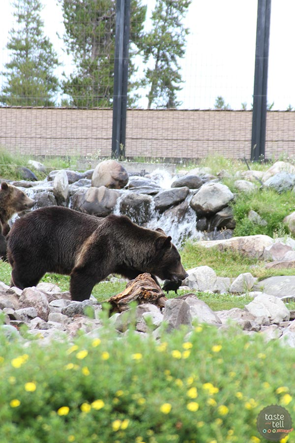 Grizzly and Wolf Discovery Center - West Yellowstone, Montana