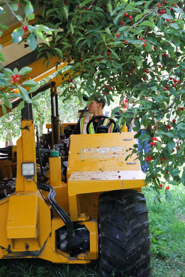 Tart Cherries being harvested from the tree