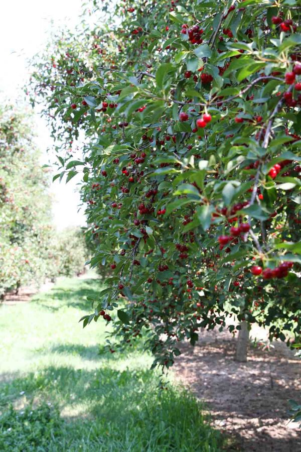 Tart Cherry Trees