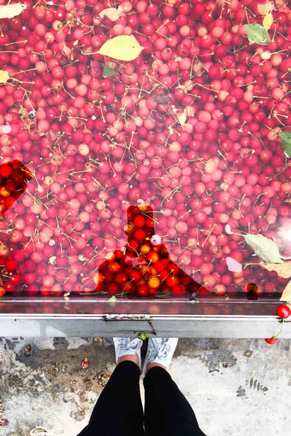 Tart Cherries in Water