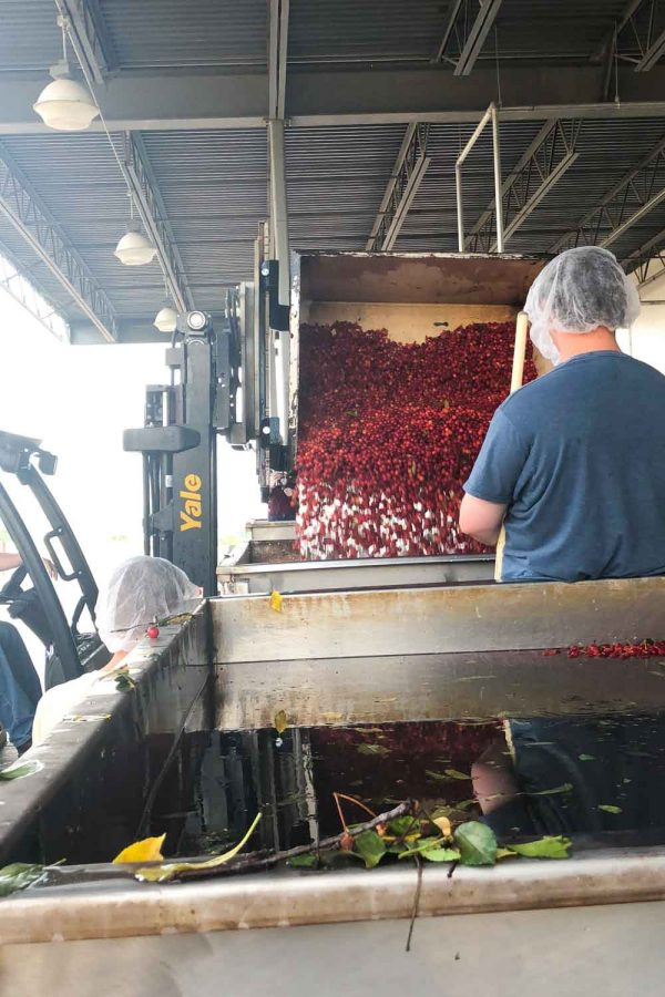 Tart Cherry Harvest