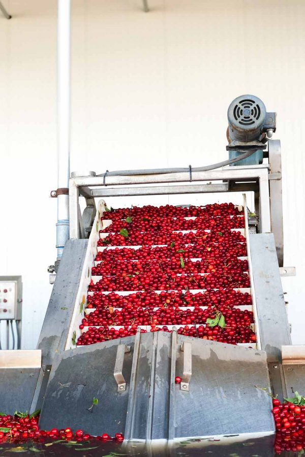 Tart Cherries being cleaned and separated