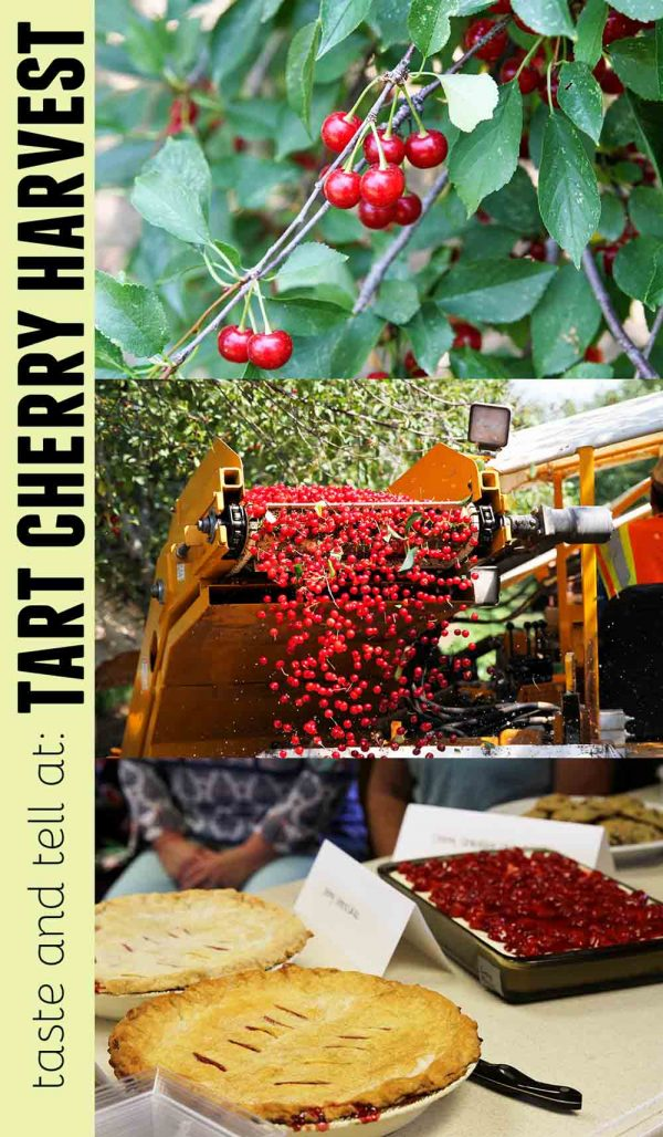 A look at the Tart Cherry Harvest in Santaquin, Utah